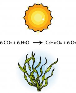 Fotosyntese - Solrød Biogas